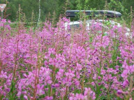 lila Blumen am Wegesrand