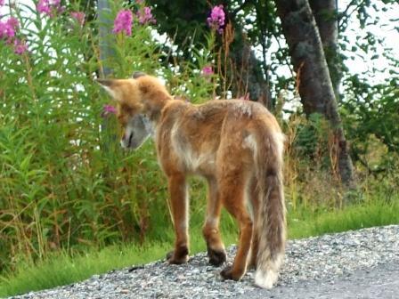 hinkender Fuchs