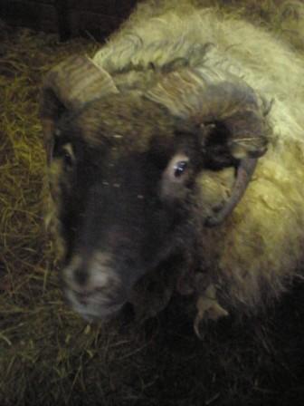 Sesar, das kuschelige Schaf