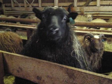 Viska, das schwarze Schaf
