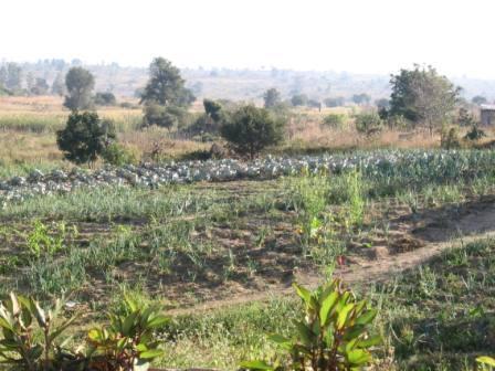 Hier wächst hauptsächlich Kohl, Zwiebeln und Rote Bete.