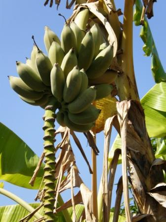 lecker Banane